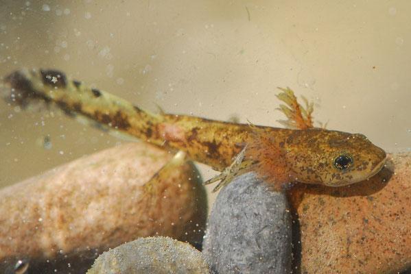 Fire Salamander - Salamandra salamandra  (larvae)