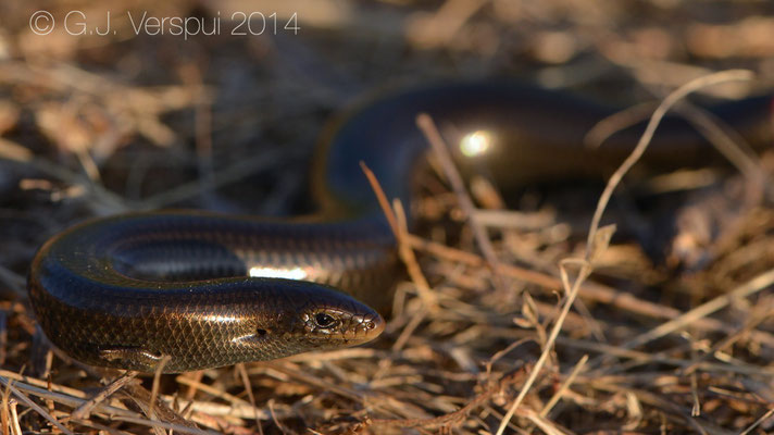 A black Iberian Tree-toed Skink - Chalcides striatus, Not in situ