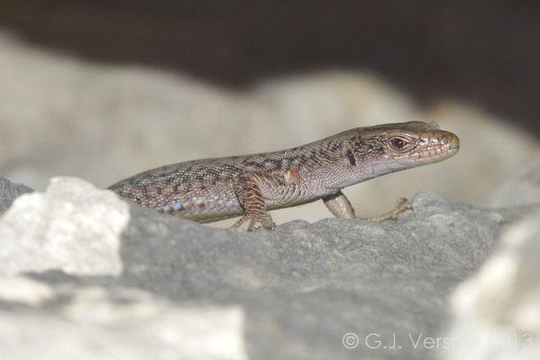 Prokletije Rock Lizard - Dinarolacerta montenegrina