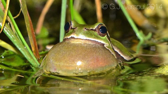 Italian Tree Frog - Hyla intermedia