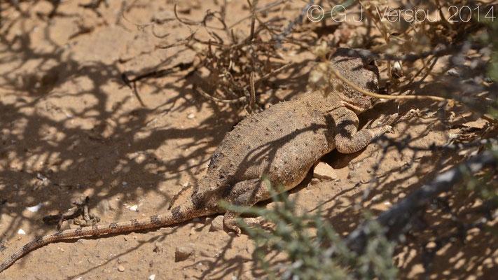 Female Desert Agama - Trapelus pallidus, In Situ