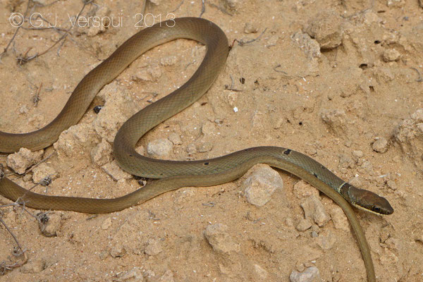Reddish Whip Snake - Platyceps collaris