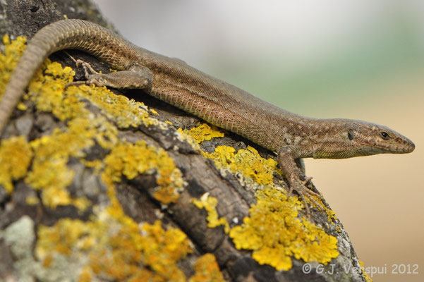 Vaucher's Wall Lizard - Podarcis vaucheri