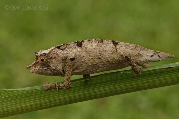 Boulenger's Pygmy Chameleon - Rhampholeon boulengeri