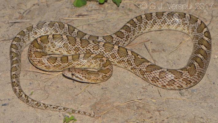 Arizona elegans expolita