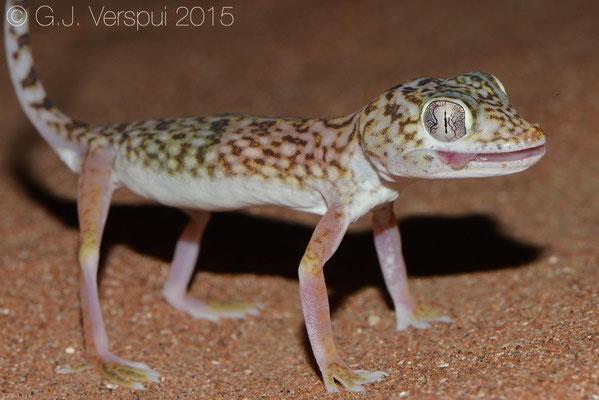 Stenodactylus doriae, In Situ