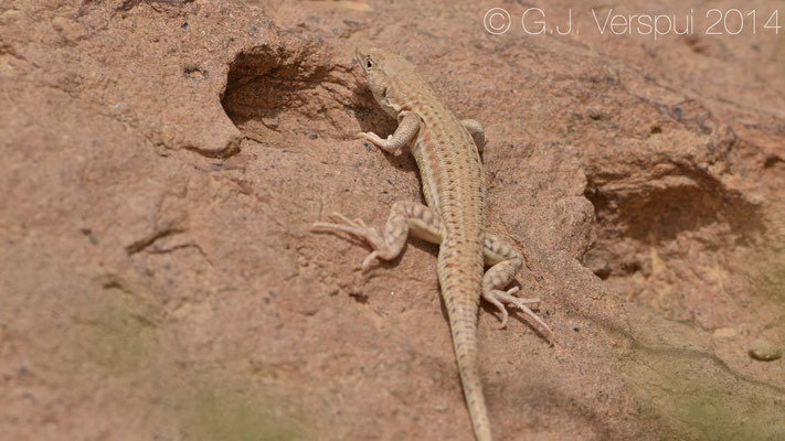 Arnold's Fringe-Fingered Lizard - Acanthodactylus opheodurus  (or Bosk's...), In Situ