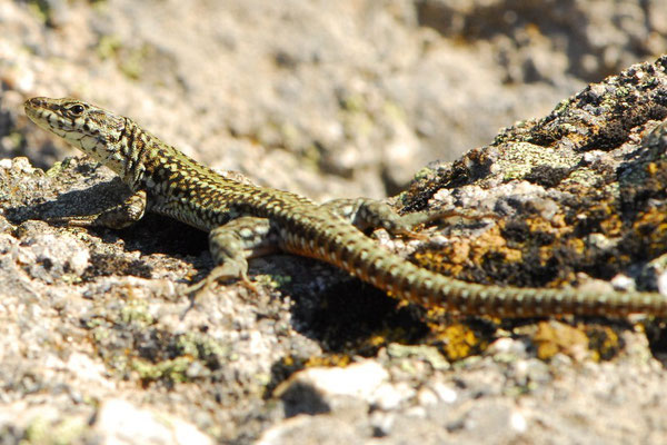 Iberian Wall Lizard - Podarcis hispanicus morphotype 1    In Situ