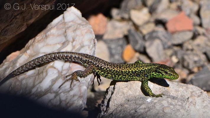 Iberian Rock Lizard - Iberolacerta monticola
