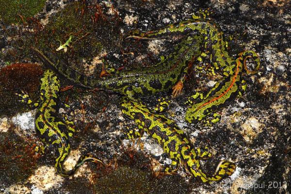 Marbled Newt - Triturus marmoratus