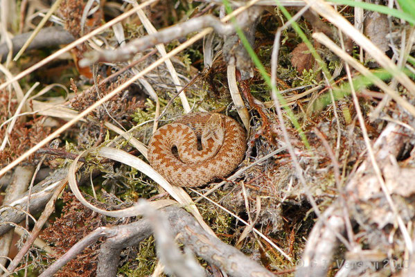 Adder - Vipera berus    In Situ