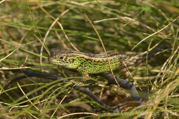 Sand Lizard - Lacerta agilis bosnica