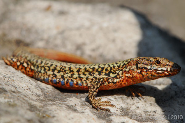 Common Wall Lizard - Podarcis muralis    In Situ