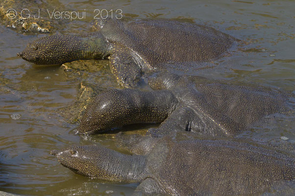 African Softshell Turtle - Trionyx triunguis    In Situ