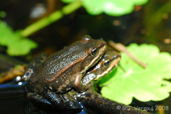 Pool Frogs - Pelophylax lessonae