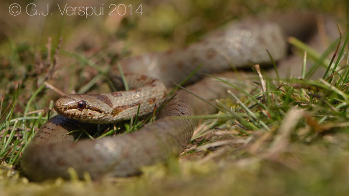 Male Smooth Snake - Coronella austriaca
