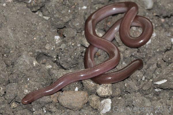 Worm Snake - Typhlops vermicularis