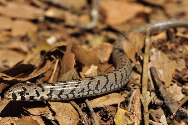 Glass Lizard - Pseudopus apodus (Juvenile)