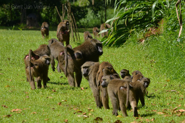 Olive Baboons - Papio anubis, on their morning stroll through our garden.