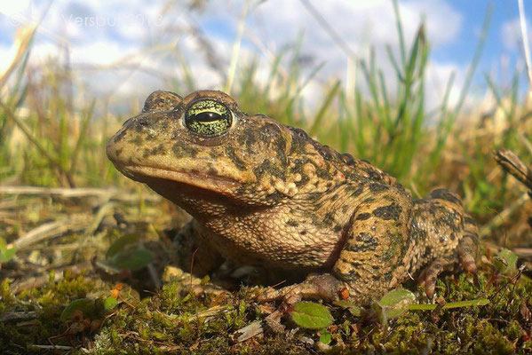 Natterjack Toad - Epidalea calamita, photo is made with a smartphone