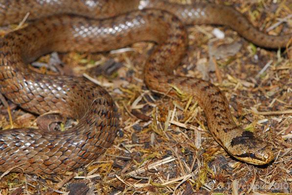 Smooth Snake - Coronella austriaca    In Situ
