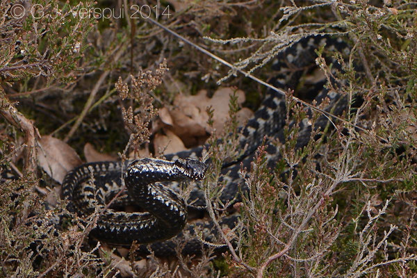 The same Male Adder on top of an other male Adder, which he chased away from his girl, In Situ