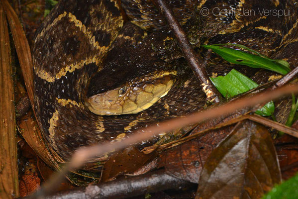 Bothrops asper, big one, around 1,4 meter and very fat!