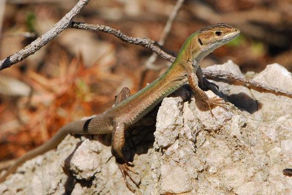 Balkan Wall Lizard - Podarcis Melisellensis    In Situ