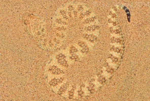 The second Sahara Sand Viper - Cerastes vipera