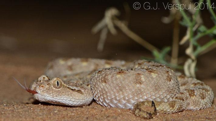 Arabian Horned Viper - Cerastes gasperettii mendelssohni