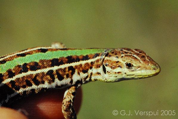 Balkan Wall Lizard - Podarcis tauricus