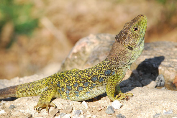 Ocellated Lizard - Timon lepidus