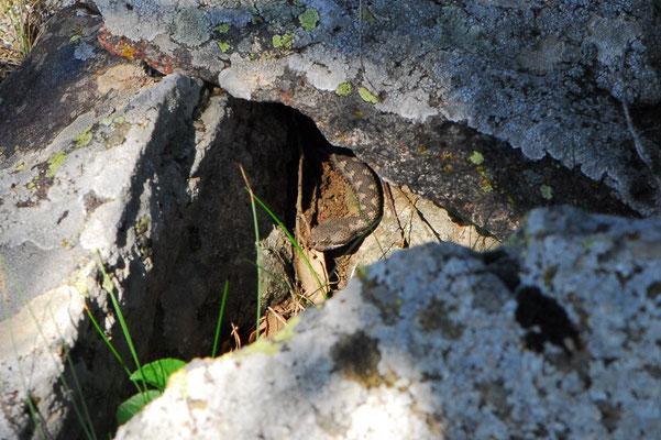 Lataste's Viper - Vipera latastei     In Situ