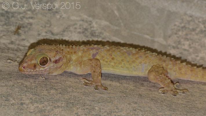 Hemidactylus alkiyumii, In Situ