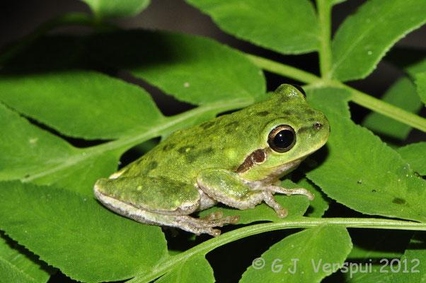 Tyrrhenian Tree Frog - Hyla sarda    In Situ