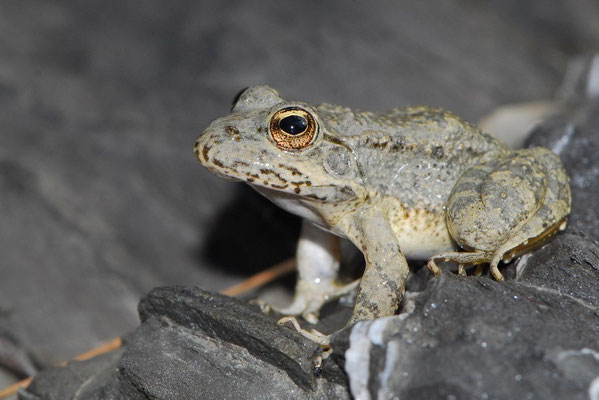 Karpathos Water Frog - Pelophylax bedriagae (cerigensis)
