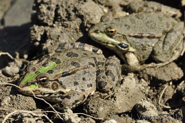 Levant Water Frog - Pelophylax bedriagae   In Situ