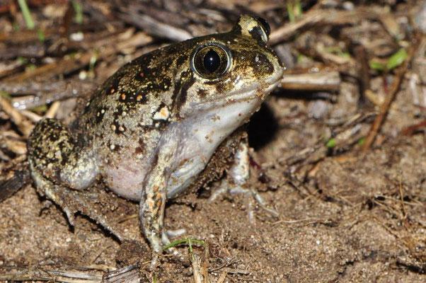 Eastern Spadefoot Toad - Pelobates syriacus