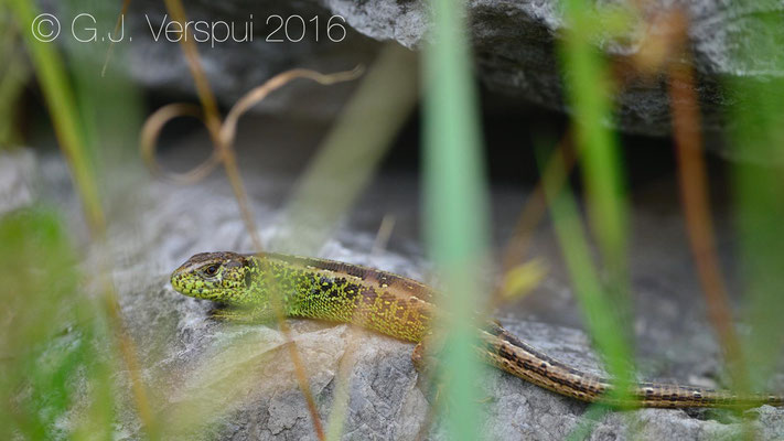 Sand Lizard - Lacerta agilis  In Situ