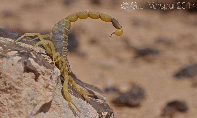Deathstalker - Leiurus quinquestriatus