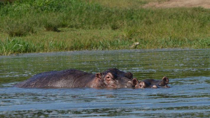 Love by Hippo's - Hippopotamus amphibius