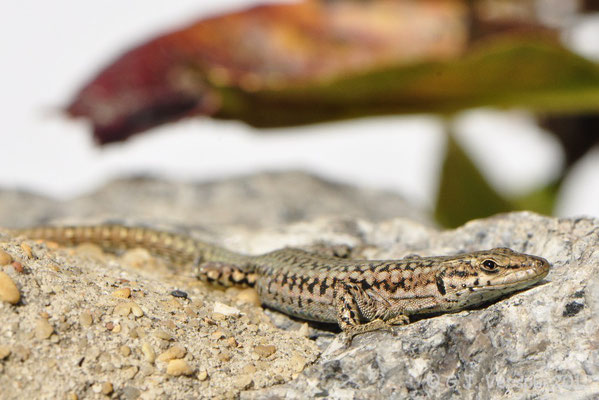 Iberian Wall Lizard - Podarcis hispanicus morphotype 2   In Situ