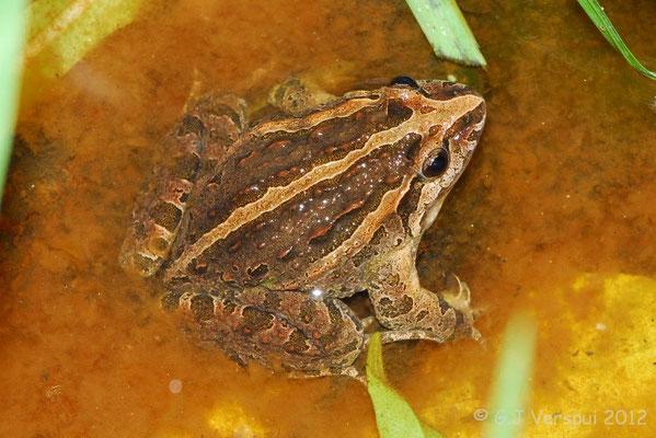 Iberian Painted Frog - Discoglossus galganoi    In Situ