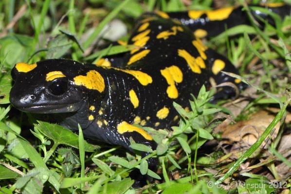 Fire Salamander - Salamandra salamandra longirostris   In Situ