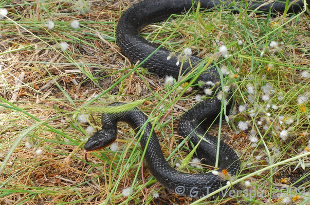 Black Whip Snake - Dolichophis jugularis