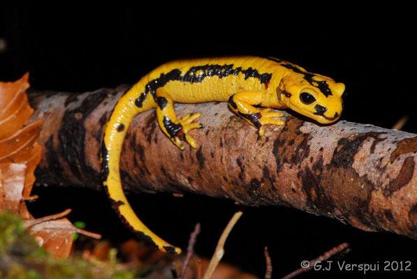 Fire Salamander - Salamandra salamandra fastuosa    In Situ