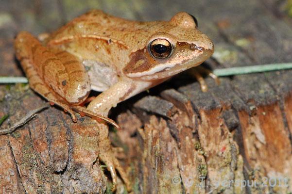 Agile Frog - Rana dalmatina