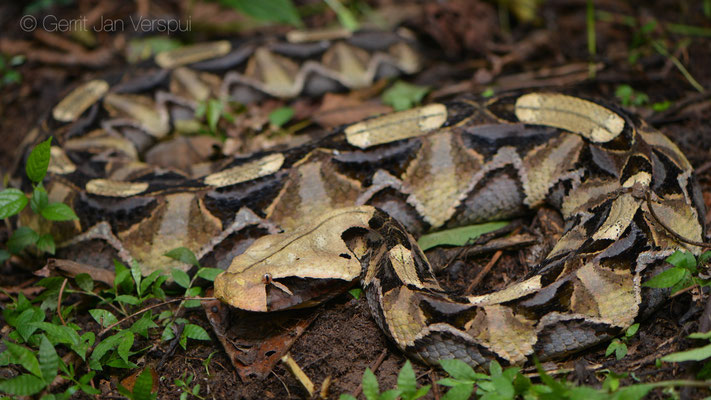 Gaboon Viper - Bitis gabonica