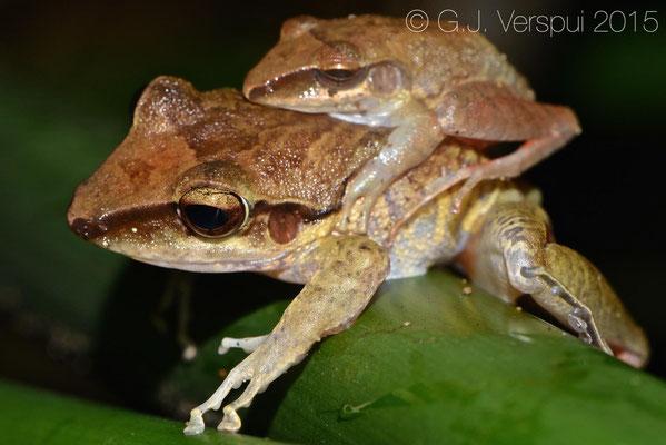 Craugaster talamancae, In Situ