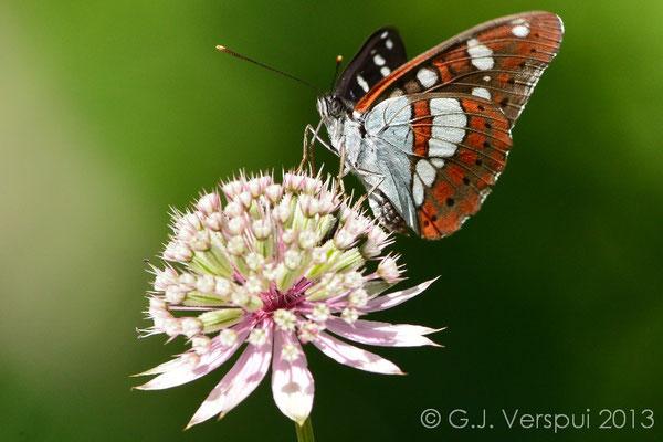 Southern White Admiral - Limenitis reducta  (NL: Blauwe Ijsvogelvlinder)